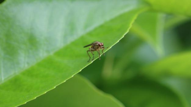 Желтая навозная муха или золотая навозная муха Бесплатные Фотографии