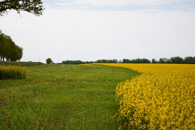 Yellow field rapeseed in bloom Premium Photo