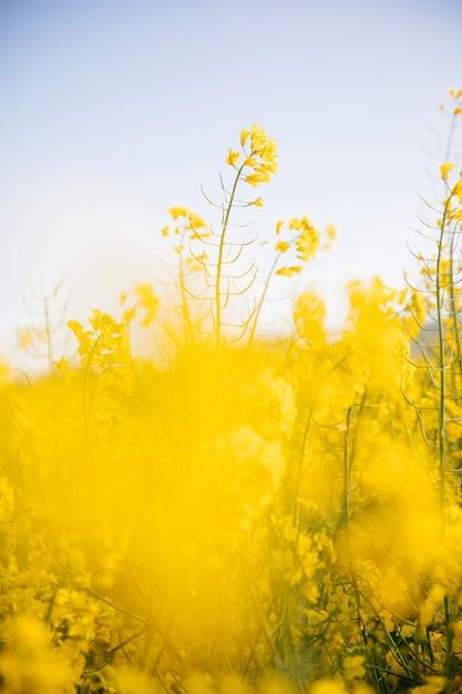 Yellow field at sunset Premium Photo