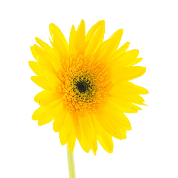 Yellow flower on a white background Photo | Free Download