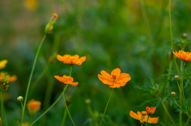 Yellow flowers in a beautiful flower garden, close-up with bokeh Premium Photo