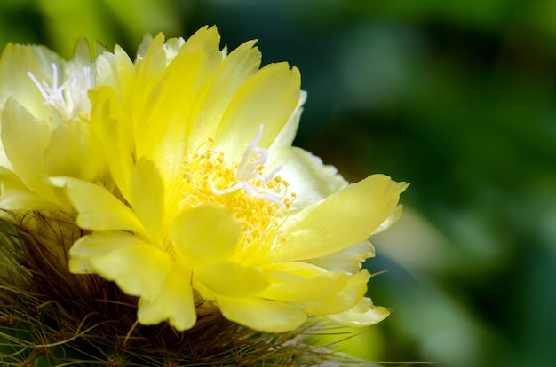 Yellow flowers of cactus. Premium Photo