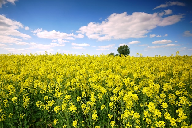 Yellow flowers in a field with clouds Free Photo