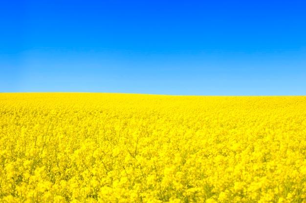 Yellow flowers field Free Photo