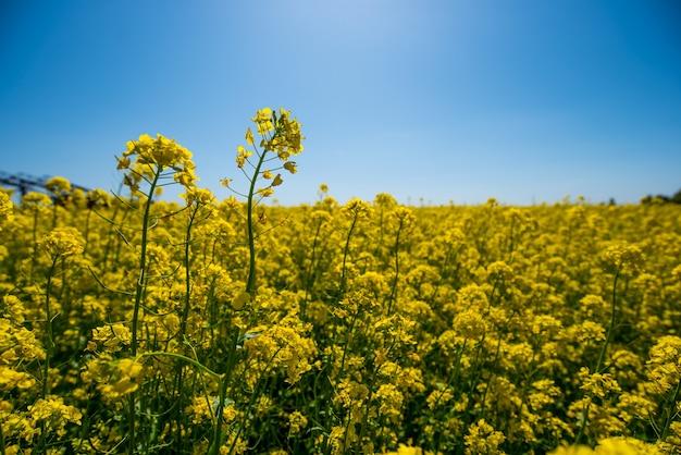 Желтые цветы рапсового поля на голубом небе летом Premium Фотографии