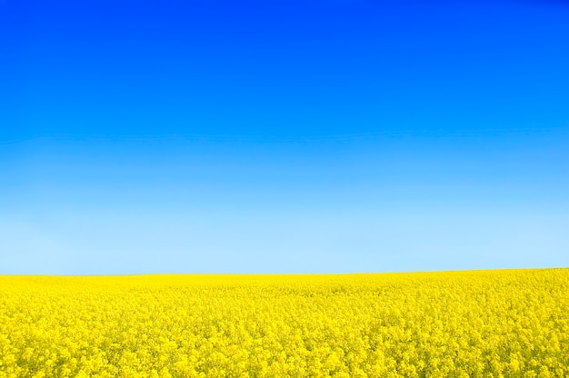Yellow flowers with a blue sky Free Photo