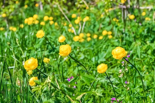 Желтые лесные цветы растут на поляне в густой траве Premium Фотографии