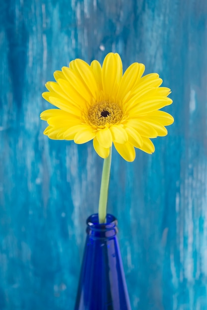 Yellow gerbera flower in blue bottle against painted wall Free Photo