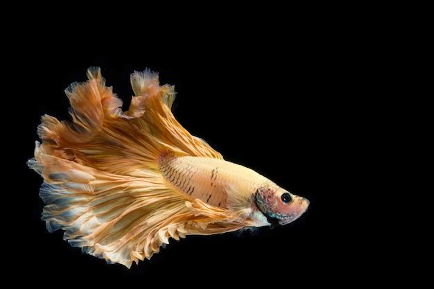 Yellow gold betta fish, siamese fighting fish on black background Premium Photo