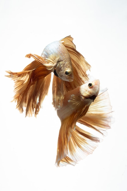 Yellow gold color of siamese fighting fish betta movement on white background Premium Photo