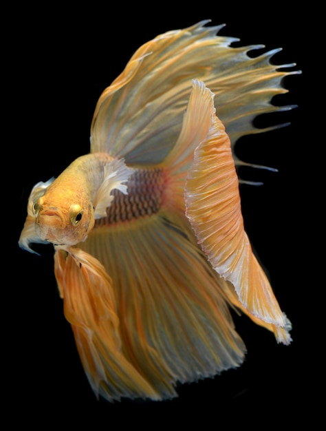 Желто-золотой разноцветный бойец бетта саймская бойцовская рыба Premium Фотографии