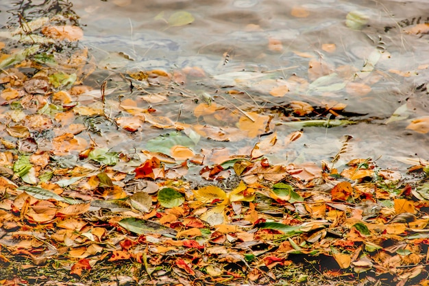 Yellow, green and red tree autumn leaves, frame composition on water background. Premium Photo