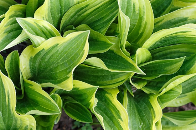 Yellow and green variegated hosta in spring shady garden Premium Photo