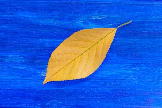 Yellow leaf on blue background. autumn concept. close up Premium Photo