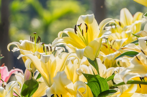 Yellow lilies are blooming in the garden Premium Photo