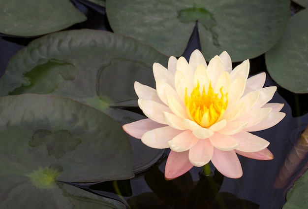 Yellow lotus flower in pond photo free download yellow lotus flower in pond free photo mightylinksfo