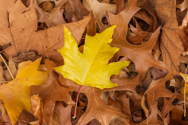 Yellow maple leaf on dry leaves - great for a natural wallpaper Free Photo