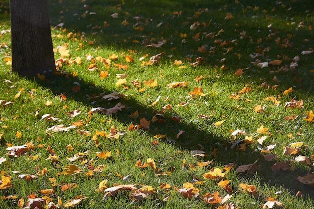 芝生の緑の草に黄色のカエデの葉 Premium写真