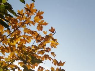Yellow maple leaves Free Photo