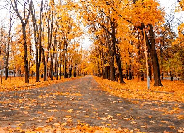 Yellow marple leaves on black asphalt road with copy space for text. Premium Photo