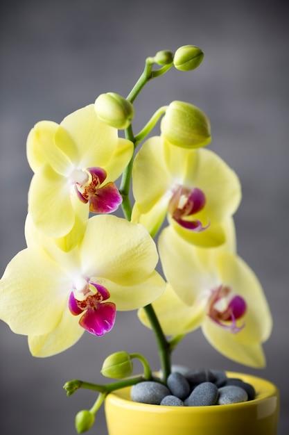 Желтая орхидея на сером фоне. Premium Фотографии