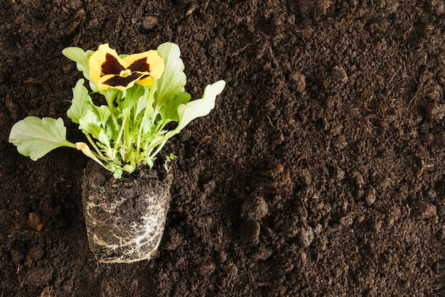 Yellow pansy flower plant over the fertile soil Free Photo