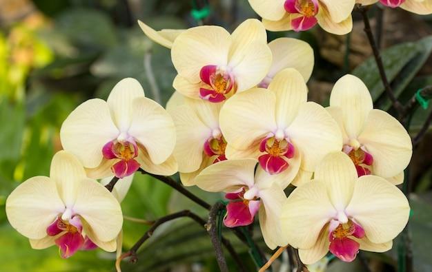 yellow phalaenopsis orchid flower photo premium download