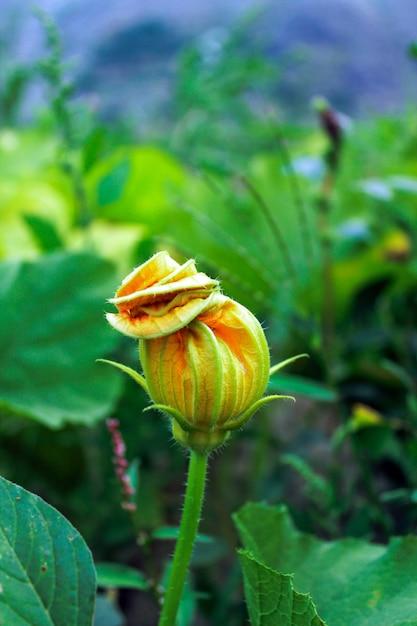 Yellow pumpkins flower bud Premium Photo