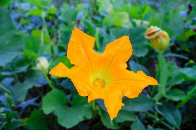Yellow pumpkins flower Premium Photo