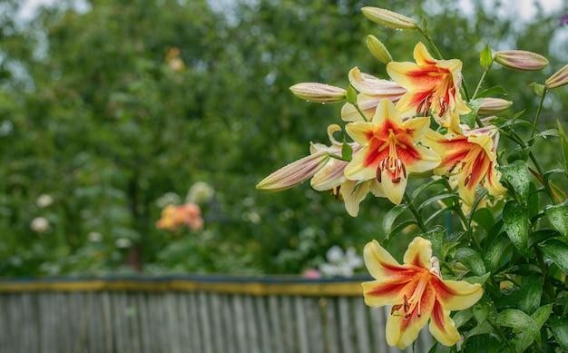 花壇に黄赤色のユリ Premium写真