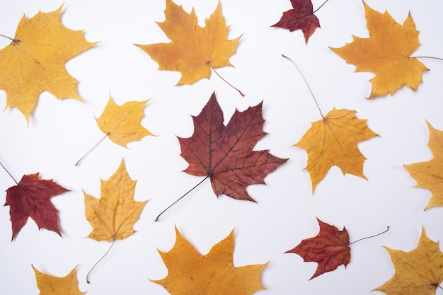 Yellow red maple leaves leaves on white Premium Photo