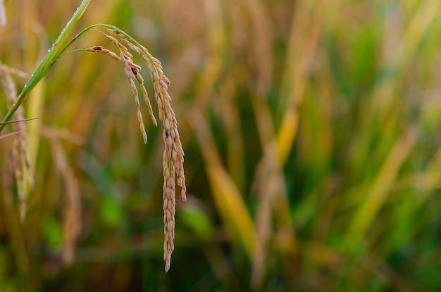 Желтые спелые семена риса с зелеными и сухими листьями на рисовом поле на севере таиланда. Premium Фотографии