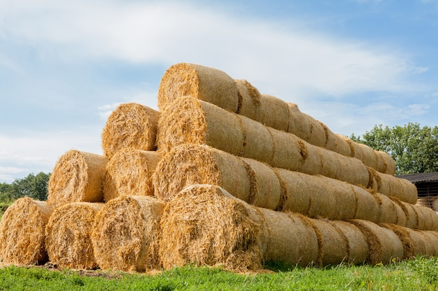 Yellow rolls of straw in the end of summer Premium Photo