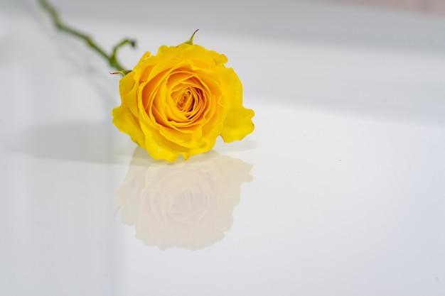 반사와 광택있는 빛 표면에 노란 장미 프리미엄 사진