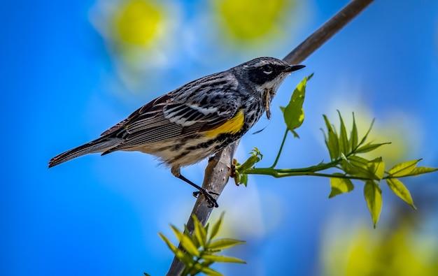 Желтопустая певчая птица (setophaga coronata) Бесплатные Фотографии