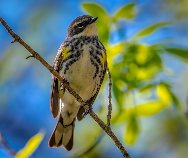 Silvia dalla groppa gialla (setophaga coronata) Foto Gratuite