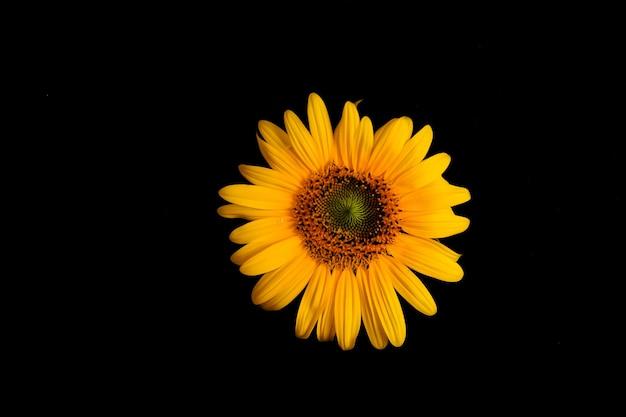 어두운 배경에 노란 해바라기 꽃 프리미엄 사진