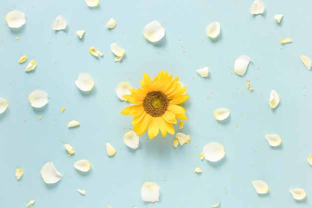 Yellow sunflower surrounded with white petals on blue surface Free Photo