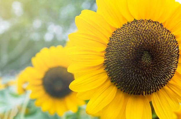 Желтый подсолнух с размытым фоном Premium Фотографии
