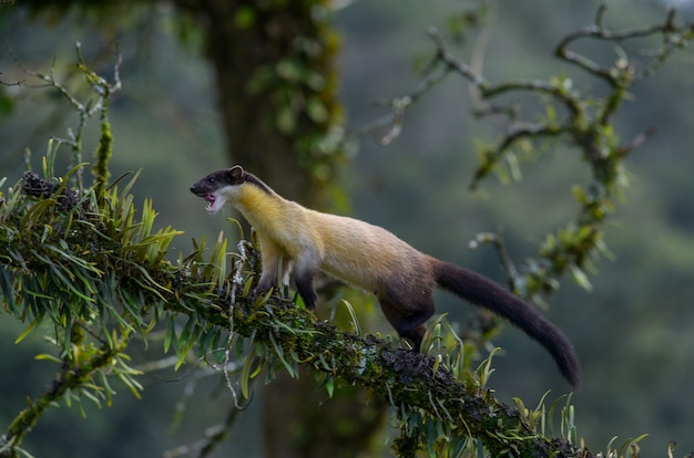 Yellow-throated marten walking on a tree to find food in the rainforest in northern thailand Premium Photo