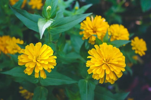 Yellow zinnia flower photo premium download yellow zinnia flower premium photo mightylinksfo