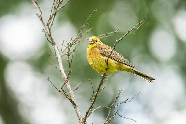 苔むした枝にキアオジ(emberiza citrinella)。この鳥は部分的に渡り鳥であり、個体群の多くはさらに南に越冬しています。 Premium写真