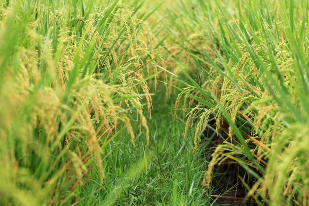 Yellowing rice is ready for harvest Premium Photo