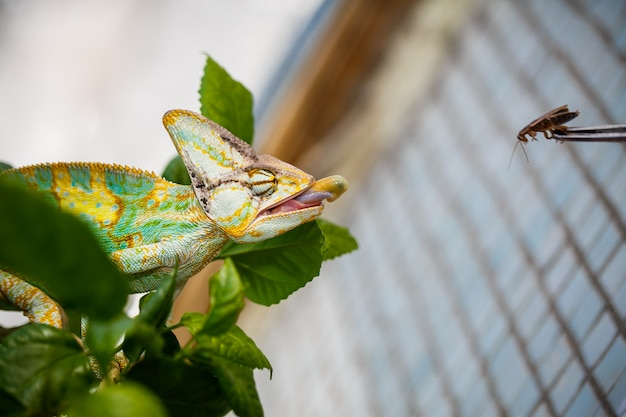 Yemen chameleon is sitting on the branch and hunting the cockroach Premium Photo