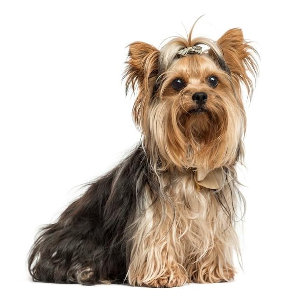 Chó sục Yorkshire ngồi đeo cung, chụp trên nền trắng
