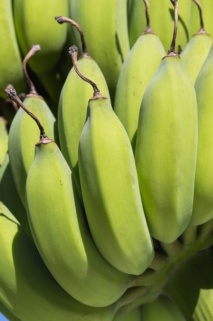 Young banana bunch close-up Premium Photo