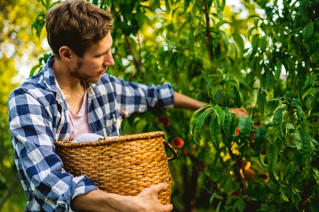 Young bearded man picks peaches from tree into basket with lighten sun through the tree Premium Photo