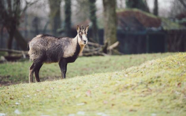 若いシャモア-山羊カモシカ-傾斜した芝生の上 無料写真