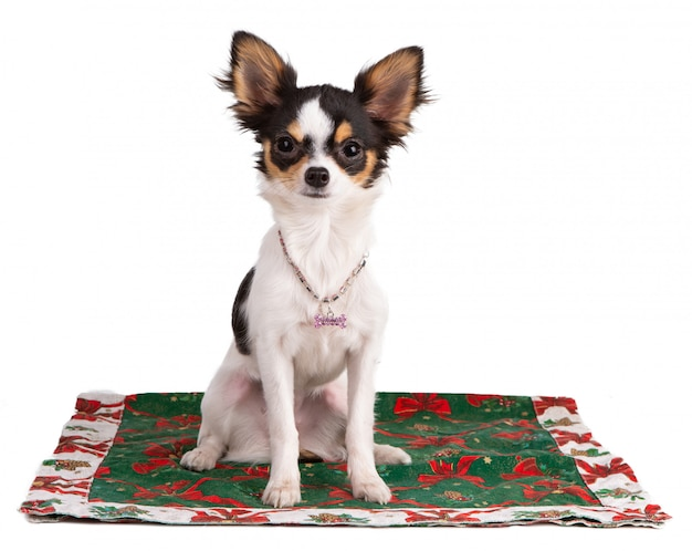 Young chihuahua on a carpet during christmas Premium Photo