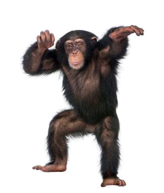 Young chimpanzee dancing - simia troglodytes on a white isolated Premium Photo